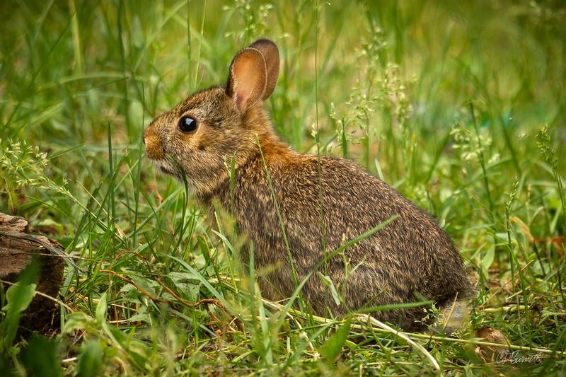 Unwary Bunny