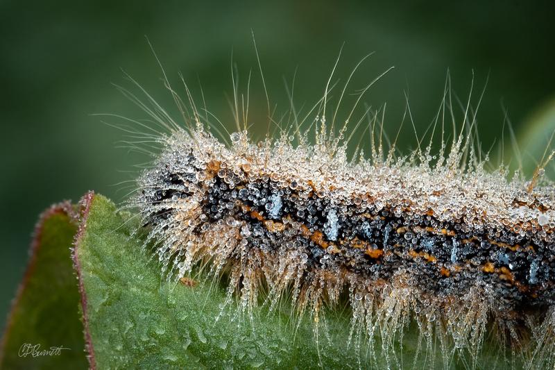 Dewy Eastern Tent Caterpillar