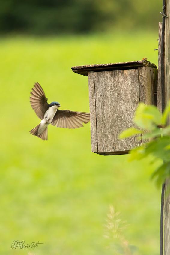 Tree Swallow Braking