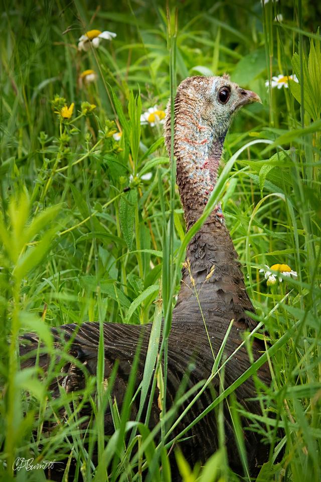 Roadside Turkey